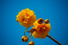 Puffy yellow flower is blooming. And sky Royalty Free Stock Image