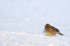 Yellowhammer in winter. Puffy yellowhammer sitting on the snow Stock Images