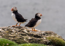Pufin conflict. Atlantic puffin conflict on the isle of Lunga, Inner Hebrides, Scotland, UK Royalty Free Stock Images