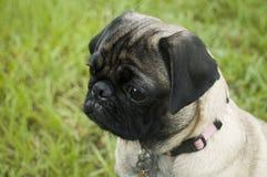pug заботы милый Стоковое Фото