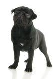 pug собаки Стоковые Изображения