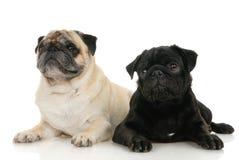 pug собаки Стоковые Изображения RF