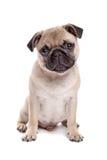 pug собаки стоковое изображение rf
