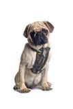 pug собаки Стоковая Фотография