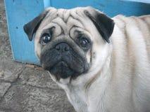 pug унылый Стоковая Фотография RF