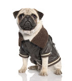 Pug (10 months old) Stock Image