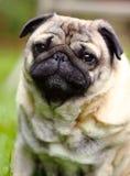 pug Стоковые Изображения RF