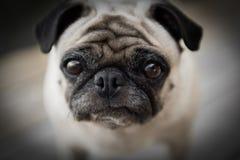 Pug Lizenzfreie Stockbilder