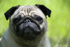 Pug. The little puppy on outcide Royalty Free Stock Photography