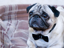 Pug. Portrait of a pug with bow-tie Stock Images