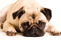 Pug. A cute Pug Dog face laying down Stock Image