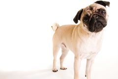 pug Стоковое Фото