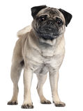 Pug, 2 and a half years old Royalty Free Stock Photo