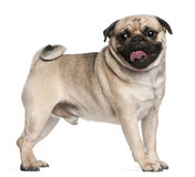 Pug, 2 and a half years old, standing Royalty Free Stock Images
