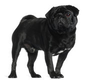 Pug, 2 and a half years old, standing Stock Image