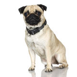 Pug (2 years) Stock Images