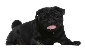Pug, 2 years old, lying Stock Photography