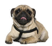 Pug, 2 Years old, lying in front of white Royalty Free Stock Image