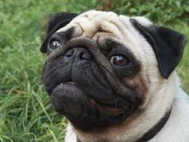 Pug. Dog Royalty Free Stock Photography