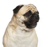 Pug, 3 Jahre alt, Stockfoto