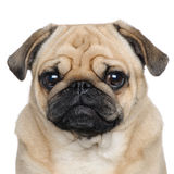 Pug (3 years) Stock Photos