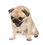 Pug (3 years) Royalty Free Stock Photography