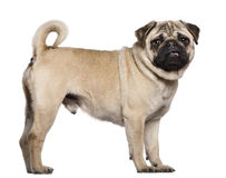Pug, 3 years old. Standing in front of white background stock image