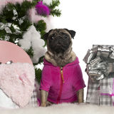 Pug, 3 years old, with Christmas tree and gifts Stock Images