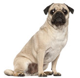 Pug, 3 years old, sitting Royalty Free Stock Photo
