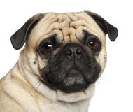 Pug, 3 years old, sitting Stock Photo