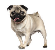 Pug, 3 years old, standing Stock Images