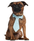 Pug, 3 years old, wearing a tie in front of Stock Images