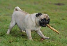 Pug Fotos de Stock Royalty Free