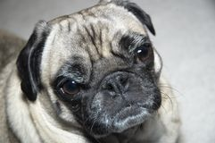 Pug Royalty Free Stock Photos