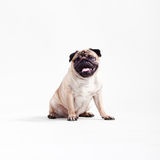 Pug Royalty Free Stock Image