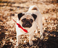 Pug Lizenzfreies Stockfoto