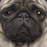 Pug (4 anni) Fotografie Stock