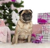 Pug, 4 anos velho, com árvore de Natal e presentes Fotos de Stock