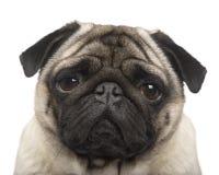 Pug (4 Jahre) Lizenzfreies Stockbild