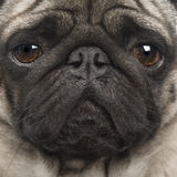 Pug (4 Jahre) Stockfotos