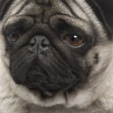 Pug (4 years) Royalty Free Stock Images