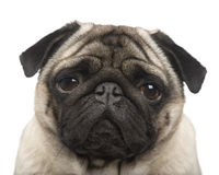Pug (4 years) Royalty Free Stock Image