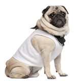 Pug, 4 years old, dressed up and sitting Stock Photos