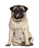 Pug, 4 years old, sitting Stock Images