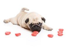 Pug. Laying on white background royalty free stock photo