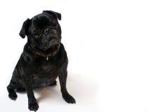 Pug Foto de Stock
