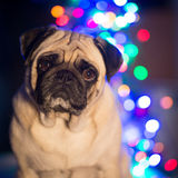 Pug Foto de Stock Royalty Free