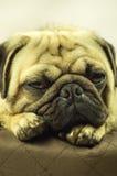Pug Royalty-vrije Stock Foto's