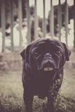 Pug Fotografia Stock