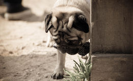 Pug Fotografie Stock Libere da Diritti